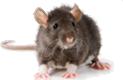 rat exterminators portsmouth va
