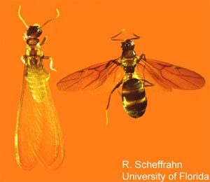 difference between flying ant and termite