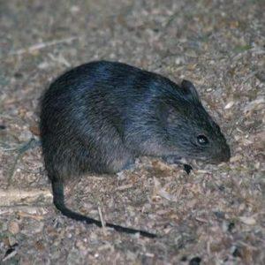 rat exterminators - smithfield va
