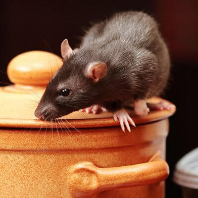 Rat in Kitchen
