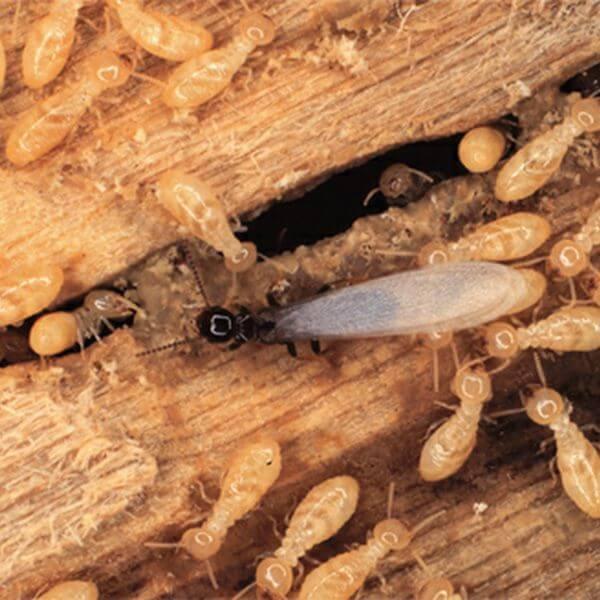 Termite Eradication