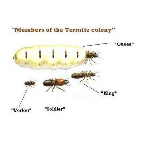 termite family diagram