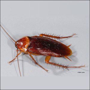 american cockroach exterminators