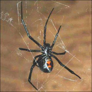 black widow spider exterminators