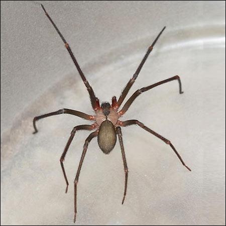 brown recluse spider exterminators