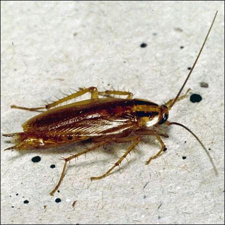 german cockroach exterminators