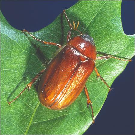 june bug beetle