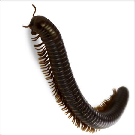 millipede