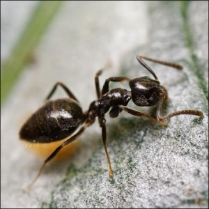 odorous house ant exterminators