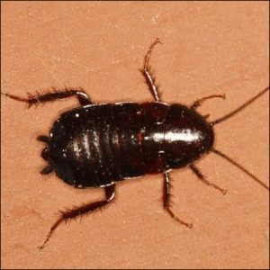oriental cockroach exterminators