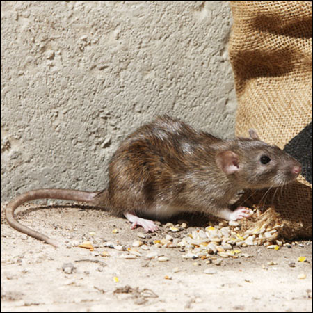 rat exterminators franklin va