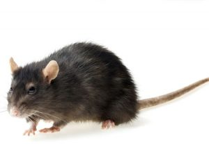 roof rat control